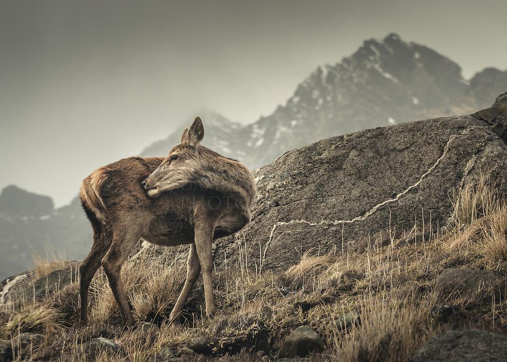 Wild deer, Coruisk, Isle of Skye