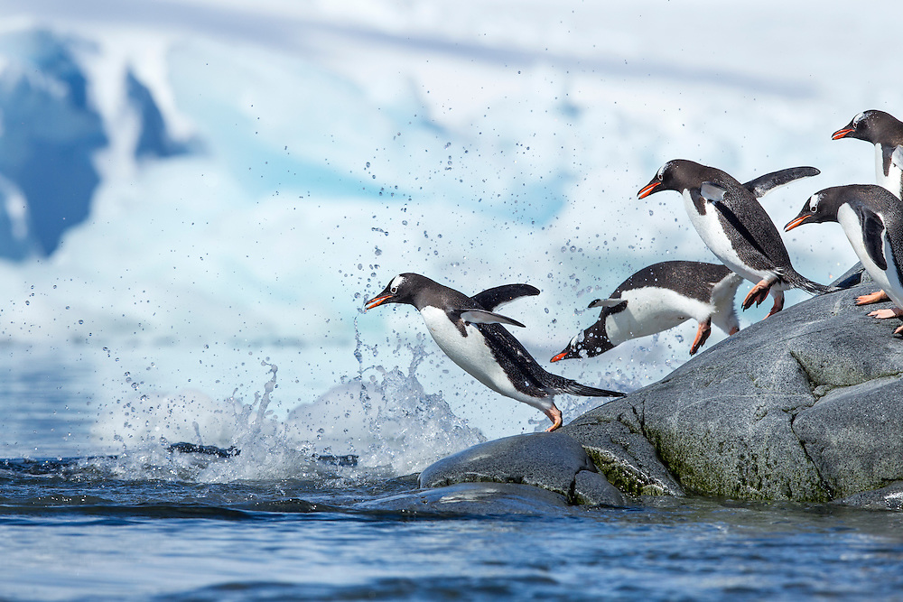 Antarctica, Petermann Island, Line of Gentoo Penguins (Pygoscelis papua) leaping into the ocean from rocky shoreline