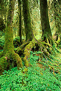 A colonaid of western hemlock trees (Tsuga heterophylla) growing from a nurse log, Hoh Rain Forest, Olympic National Park, Washington