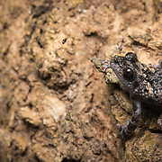 Chantaburi Warted Tree Frog (Theloderma stellatum) in Kaeng Krachan national park, Thailand