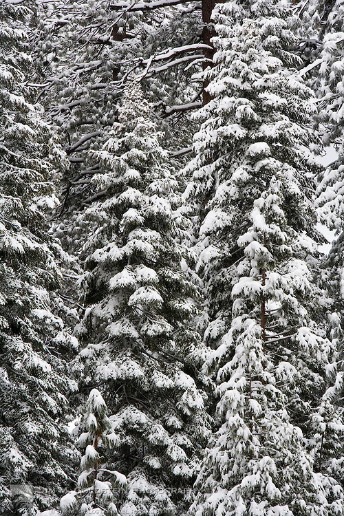 Snow covered trees in Yosemite valley - Yosemite National Park, California