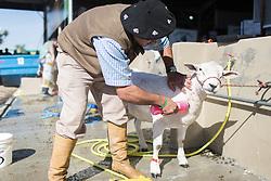 Novo lavatório de ovelhas na 38ª Expointer, que ocorrerá entre 29 de agosto e 06 de setembro de 2015 no Parque de Exposições Assis Brasil, em Esteio. FOTO: Jefferson Bernardes/ Agência Preview