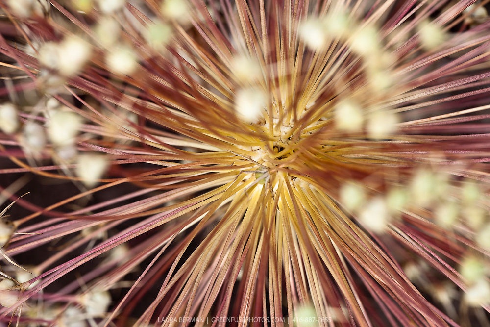 The seed pods of Star of Persia allium (Allium christophii)