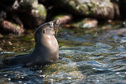 Playful antics of seal in the rocks.