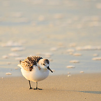 A sanderling (Caladris alba) stands fluffed out after preening and shaking its feathers, Chincoteague National Wildlife Refuge, Assateague Island, Virginia.