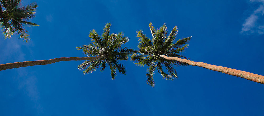 Looking at Palm Trees from the Ground Up, Fiji