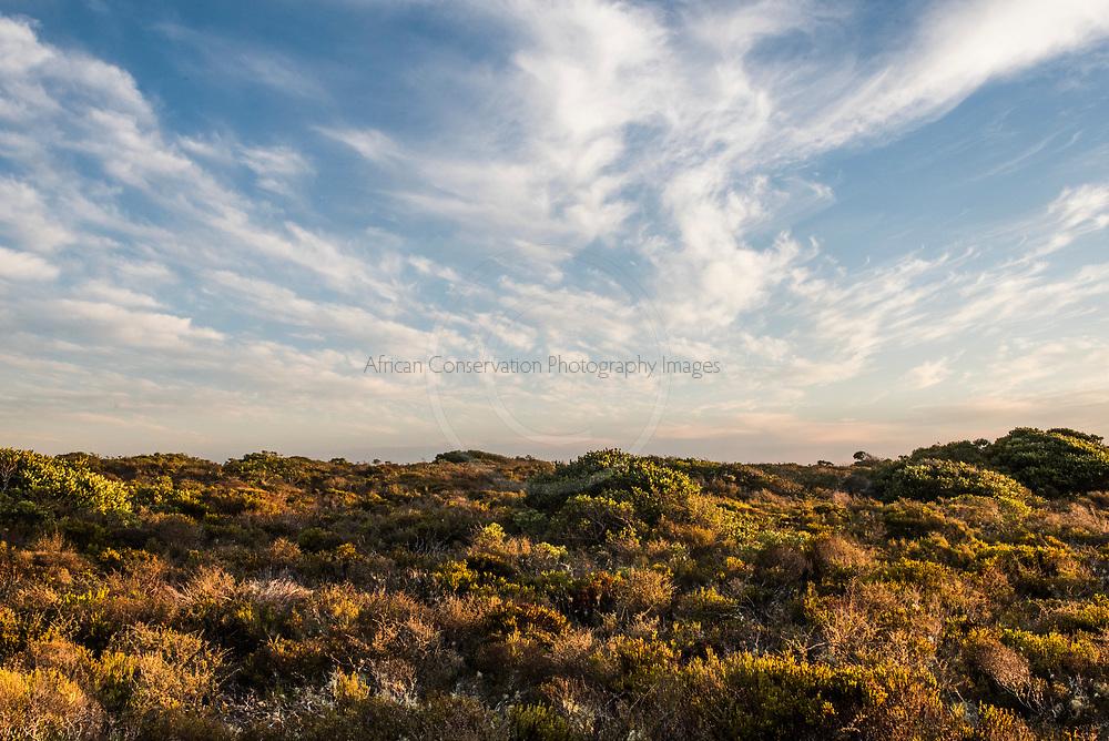 Coastal duneveld vegetation, De Mond Nature Reserve, Western Cape, South Africa