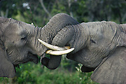 Elephant siblings greeting, part of a family group, Serengeti National Park, Tanzania.