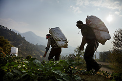 Heavy sacks of potatoes from Durga's farm are taken down the hill to be sold. Most members of the community work on an exchange labor basis. When one family needs help harvesting, family and neighbors come to help with the workload in exchange for food and beverages. It is expected that they will do the same for each of these community members when the time is needed.<br />