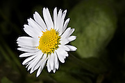 Looking Pretty, Common Daisy - Tasmania