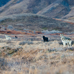 Group of wolves also taken in Denali.....