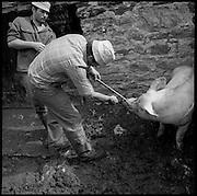 Alpine farming. Einer Sau wird ein Nasenring angebracht. Produktion von Glarner Schabziger auf der Alp Krauchtal. Auf der Alp werden auch Schweine gehalten. Gemeinde Matt, Glarus. © Romano P. Riedo