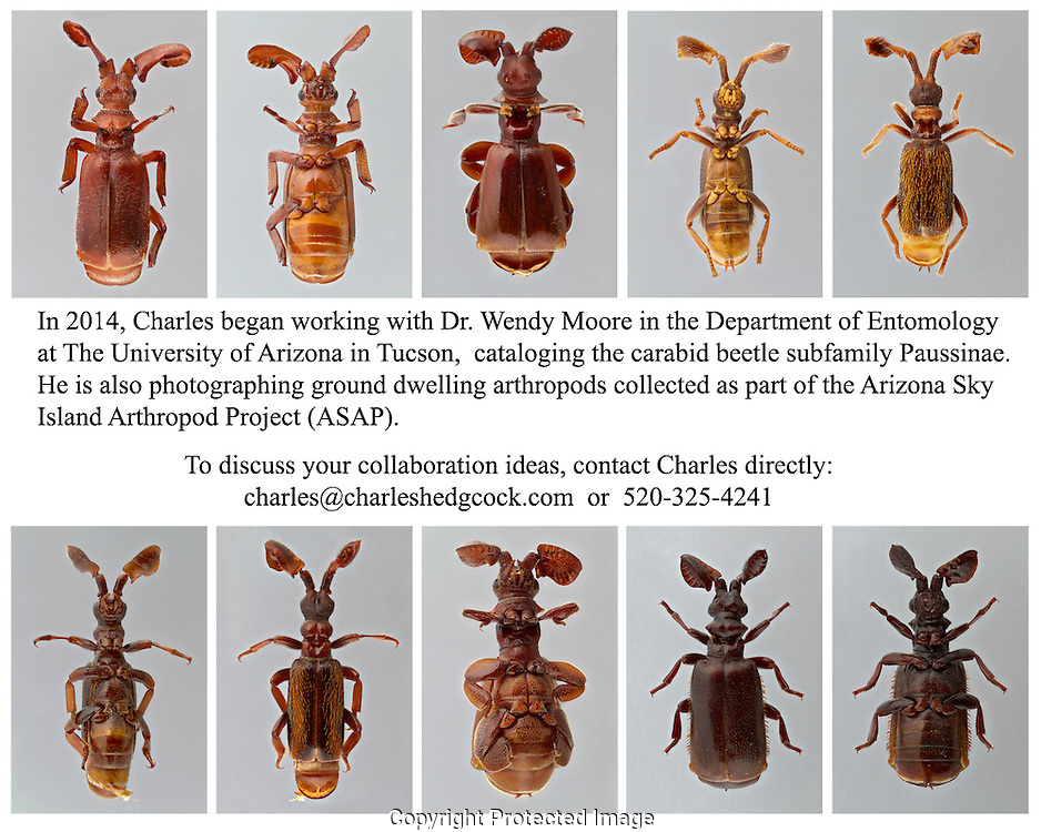 In 2014, Charles Hedgcock has been working with Dr. Wendy Moore in the Department of Entomology at the University of Arizona, Tucson, Arizona.