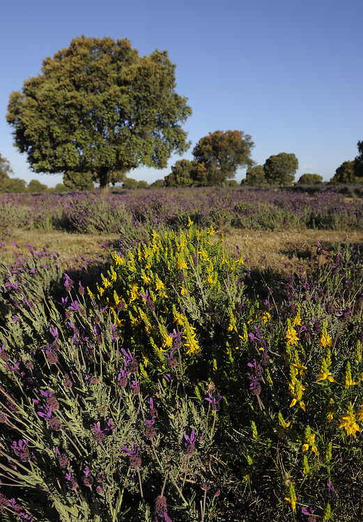 Holm oak (Quercus ilex rotundifolia), Spanish Gorse (Genista hispanica) and French or Spanish lavender (Lavandula stoechas), Dehesa landscape, Monfrague National Park, Extremadura, Spain.