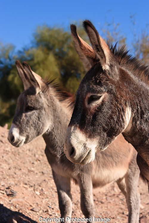 Wild Burros in their native habitat along the Lower Colorado River protected under the 1971 Wild and Free Roaming Horse and Burro Act