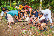 26 OCTOBER 2012 - PULASAIZ, NARATHIWAT, THAILAND:  Thai Muslim men kill a young bull during the Eid al-Adha sacrifice in the villiage Pulasaiz, in the province of Narathiwat, Thailand. The sacrificed cow is butchered and divided into seven portions. The meat is shared with families of lesser means, widows and orphans. It is the one day of the year that some people in the community get to eat beef (In Muslim communities in Thailand, cows are usually sacrificed. In other Muslim countries it is often sheep.) Eid al-Adha, also called Feast of the Sacrifice, is an important religious holiday celebrated by Muslims worldwide to honor the willingness of the prophet Ibrahim (Abraham) to sacrifice his firstborn son Ishmael as an act of submission to God, and his son's acceptance of the sacrifice before God intervened to provide Abraham with a ram to sacrifice instead. In 2012 Eid al-Adha was celebrated Oct 25 - 26.    PHOTO BY JACK KURTZ