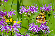 Fritillary butterfly feeding on horsemint flowers clustered around a black-eyed susan blossom, mountain meadow, Jemez Mountains, NM. © 2010 David A. Ponton