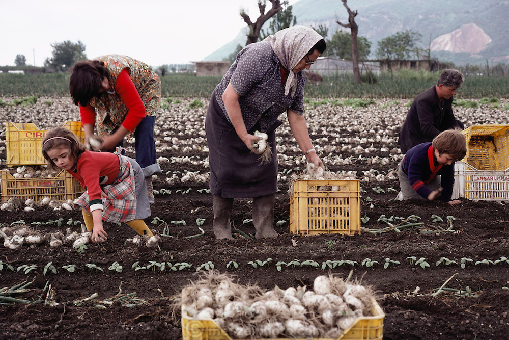 A family harvests garlic, near Naples, Italy.