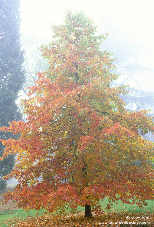 Nyssa sylvatica on a misty autumnal morning in Valley gardens, Buckinghamshire<br /> Black gum, Dour gum, Tulepo