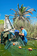 Israel, Coastal Plains, Kibbutz Maagan Michael, Harvesting fish from an intensive growing pool the extraction tool (Screw) lifts the fish out of the water into a transportable water tank.