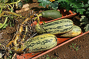 zucchini in vegetable patch