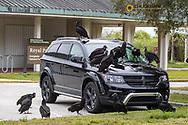 Black vultures damaging parked cars in Everglades National Park, Florida, USA