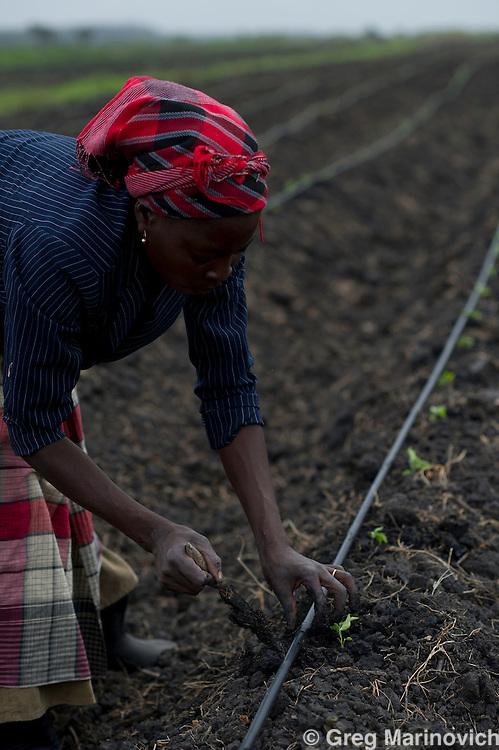 Elephant Pepper Farm, Marracuena, Mozambique. Sept 21, 2011. Female workers plant Birds Eye chilli seedlings Photo Greg Marinovich/ Storytaxi