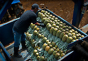 Costa Rica, La Virgen de Sarapiqui, Stacking Picked Pinapples