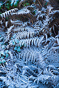 Hoar frost creating sculptural frosty ferns in winter landscape in the Cotswolds, England, UK