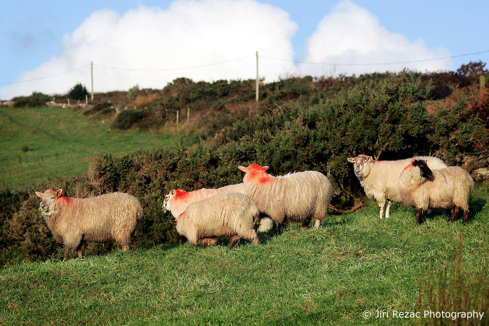 IRELAND KERRY INCH 4NOV05 - Sheep graze near Inch Strand on the Dingle Peninsula, Irelands most westerly county...jre/Photo by Jiri Rezac..© Jiri Rezac 2005..Contact: +44 (0) 7050 110 417.Mobile: +44 (0) 7801 337 683.Office: +44 (0) 20 8968 9635..Email: jiri@jirirezac.com.Web: www.jirirezac.com..© All images Jiri Rezac 2005 - All rights reserved.