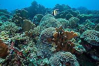Moorish Idol and Healthy Hard Corals<br /> <br /> Shot in Indonesia