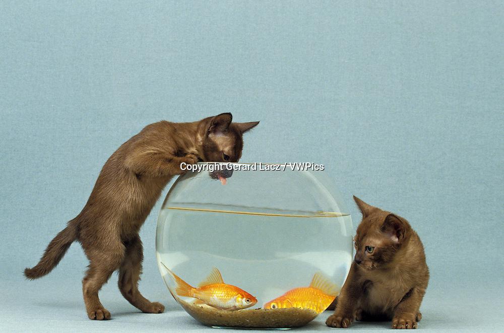 Zibeline Burmese Domestic Cat, Kitten with Aquarium