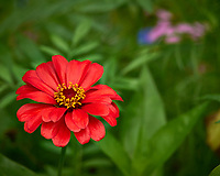 Red Zinnia flower after the rain. Backyard summer nature in New Jersey. Image taken with a Leica T camera and 55-135 mm lens (ISO 100, 135 mm, f/5.6, 1/40 sec).