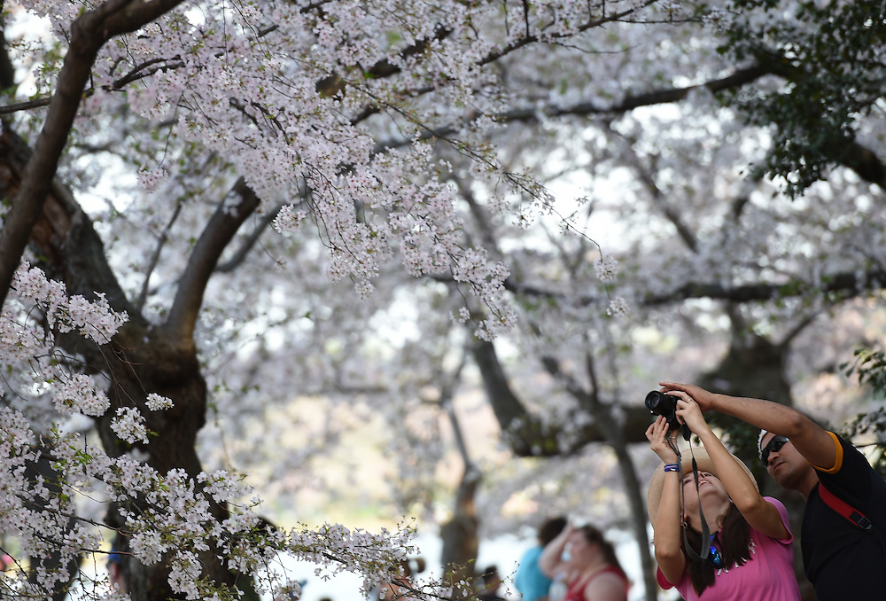 A couple photographs cherry blossom trees at the Tidal Basin in Washington D.C. on April 13, 2014.