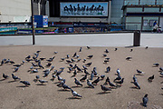 A coincidental juxtaposition of pigeons and an advertising billboard for Lloyds Bank featuring horses, at the Elephant And Castle shopping centre, on 3rd May 2018, in south London, UK.