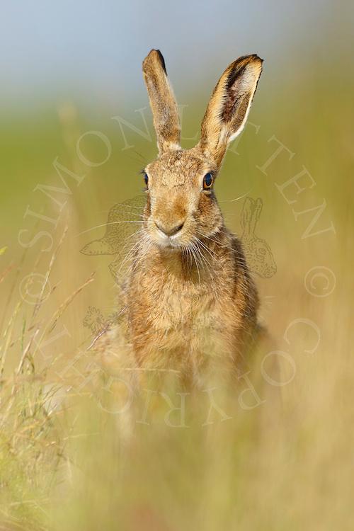 European Hare (Lepus europaeus) adult in margin alongside farmland track, South Norfolk, UK. July.