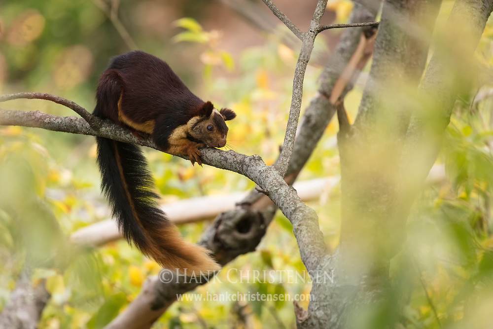 With a body length of 14 inches and a tail 2 feet long, the indian giant squirrel is a site to behold.  Mudumalai National Park, India.