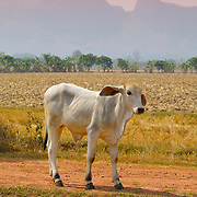 A Brahman Cow, Bos taurus indicus, against agricultural fields at sunset in Ratchaburi province, Thailand.