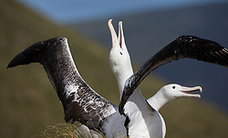 Southern Royal Albatross (Diomedea epomophora) in Campbell Island