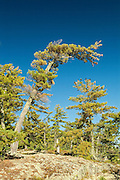 White pines on Crow (Kakagi) Lake<br /> Near Nestor Falls<br /> Ontario<br /> Canada