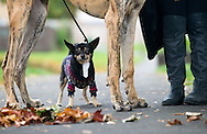 """With more than a nod to photographer Elliot Erwitt's famous 1974 photograph """"Dog Legs"""" <br /> <br /> Hunter the Great Dane and George the Chihuahua brave the cold autumnal weather in Whitecraigs, East Lothian with their owner Angela<br /> <br /> Standalone photograph for UK daily newspapers 11th October 2013"""
