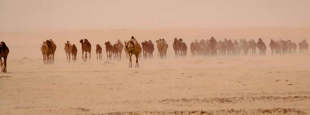 Camels coming to Taweelah well in the Dahana sands, Saudi Arabia