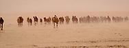 Camels coming to Taweelah well in the Dahana sands, Saudi Arabia