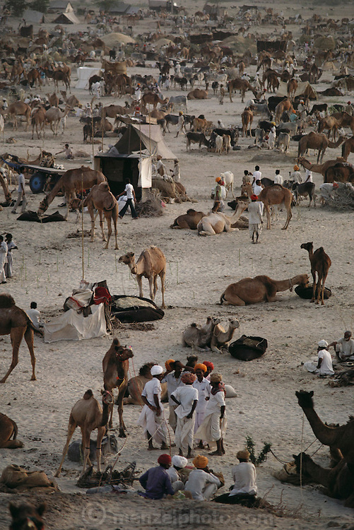 Camels and owners at the Mallinath Fair, one of the biggest cattle fairs of Rajasthan that lasts for two weeks. It is held annually in the desert near Tilwara, a village in Rajistahan (March-April). Highly popular breeds of cows, camels, sheep, goats and horses attract people not only from Rajasthan but also Gujarat and Madhya Pradesh. Rajasthan, India. .