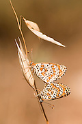 Mating Lesser Spotted Fritillary (Melitaea trivia) Butterfly Photographed in Israel, Spring May