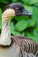 A nene stands for a headshot in front of some bushes
