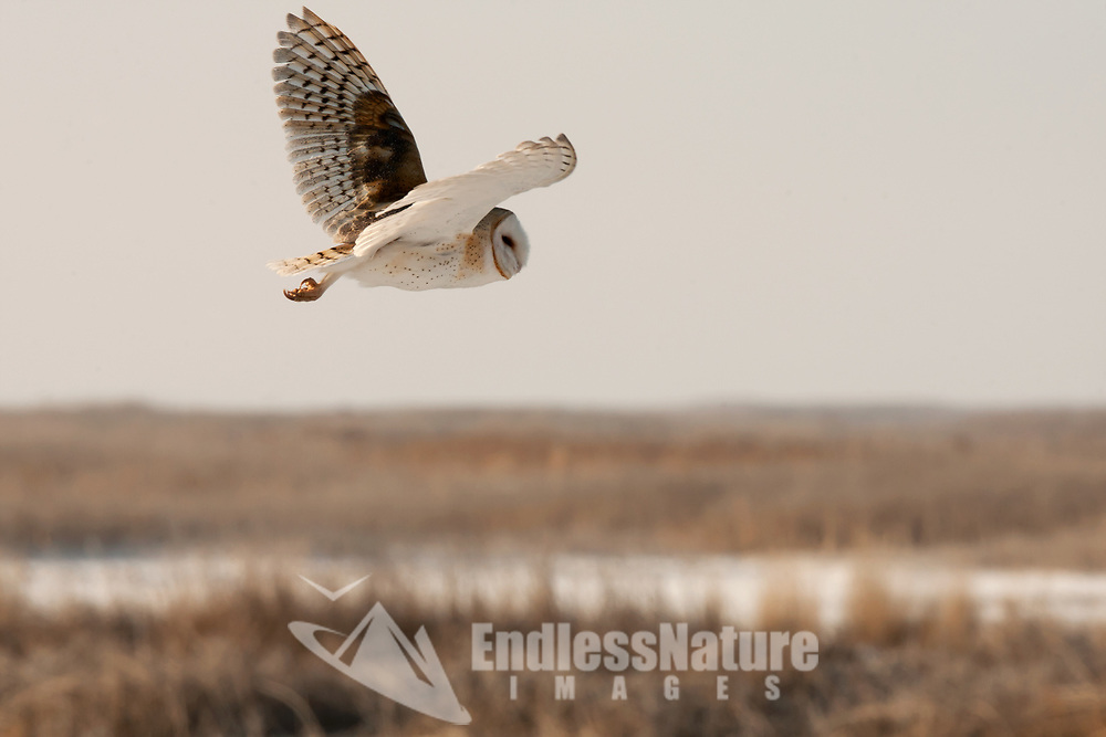 A Barn Owl in flys over a local Utah marsh as it looks for mice and voles.