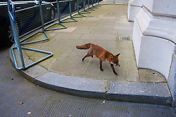 Downing Street, London, January 27th 2015. An urban fox sneaks past ministerial cars, heading towards the Treasury to look for scraps as ministers attend a cabinet meeting inside Number Ten.