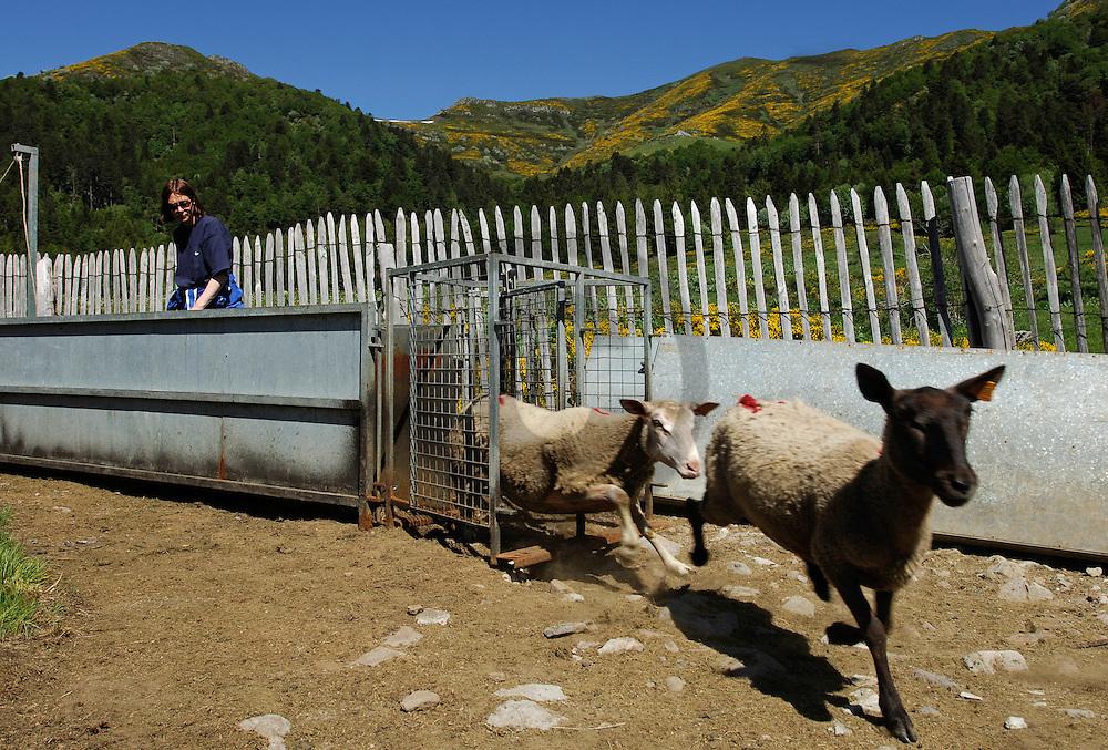 09/06/06 - LIORAN - CANTAL - FRANCE - Debut d estive ovine sur les Monts du Cantal. Depart de Font d Allagnon - Photo Jerome CHABANNE