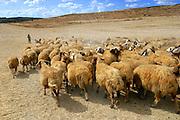 Israel, Negev, Bedouin shepherd with his herd of sheep and goats